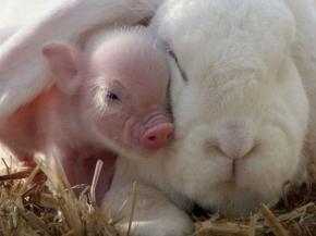 Amistad animal, cerdo y conejo