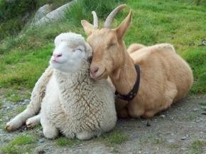 Amistad animal, cabra y oveja